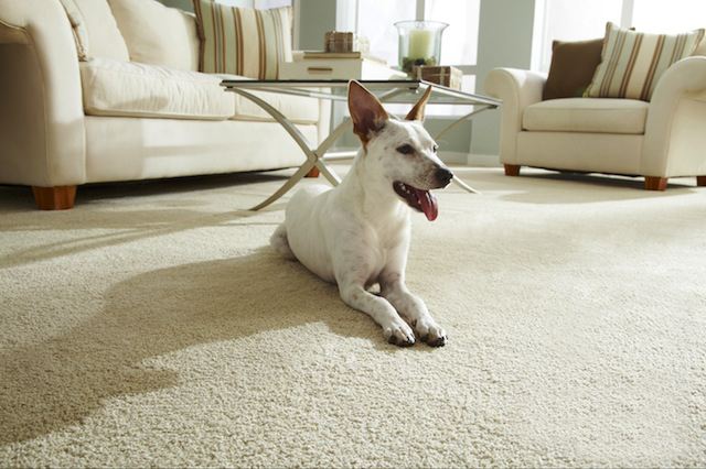 Carpet Cleaning Tip – Cleaning up Pet Accidents